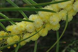 4) Swamp Wattle (Acacia elongata) Broken Head Na What Plant Where