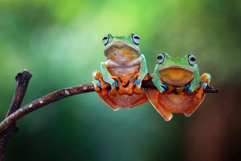 Tree,Frog,,Flying,Frog